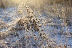 Droge installaties in sneeuw, weide bij de winter Royalty-vrije Stock Foto's