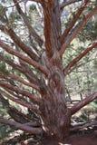 Droge Jeneverbessenboom Sedona Arizona Stock Foto's