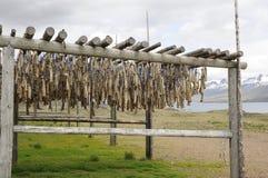 Droge kabeljauw in IJsland stock afbeelding
