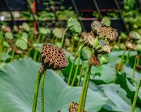 Droge lotusbloemhoofden met zaden stock afbeeldingen
