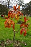 Droge magnoliaboom Stock Foto's