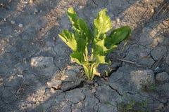 Droge modder op de landbouwbedrijven in Nederland toe te schrijven aan de droogte van de zomer van 2018 in Nederland stock foto's