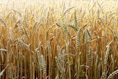 Droge oren van tarwe op een gebiedsachtergrond Stock Foto's