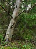 Droge pijnboom in dick hout Stock Afbeelding