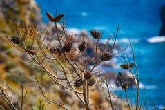 Droge pijnboomtak met kegels op zeekust stock foto