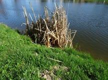 Droge rietstelen in het water De kust is behandeld met groen gazon Stock Afbeelding
