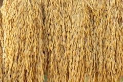 Droge rijstkorrels op de achtergrond alvorens de gouden sorteermachine van de rijstkorrel in te gaan stock foto's