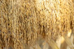 Droge rijstkorrels op de achtergrond alvorens de gouden sorteermachine van de rijstkorrel in te gaan royalty-vrije stock afbeeldingen