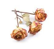 Droge rozen stock foto