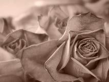 Droge rozen Royalty-vrije Stock Foto's