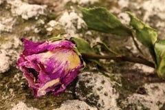 Droge rozen Royalty-vrije Stock Afbeeldingen