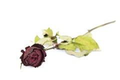 Droge rozen Royalty-vrije Stock Afbeelding