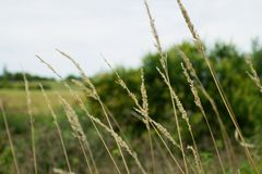 Droge stammen van geel gras tegen vaag landschap Stock Fotografie