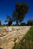 Droge steenmuur en olijfboom Royalty-vrije Stock Foto