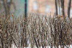 Droge struiktribunes onder dalende sneeuw in de winter op een witte achtergrond stock foto's