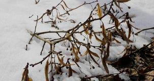 Droge takken van een boom met bessen op een achtergrond van sneeuw stock footage