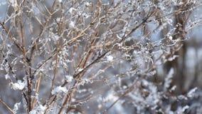 Droge takken van gebieds Siberisch die gras met vorst en zich lichtjes het bewegen van de wind wordt behandeld stock footage