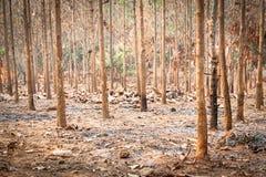 Droge teakbomen bij landbouwbos in de winter Stock Afbeelding