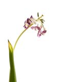Droge tulp royalty-vrije stock afbeeldingen