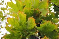 Droge uitgeputte uiteinden van groene esdoornbladeren, milieuproblemen, dood van een boom stock afbeeldingen