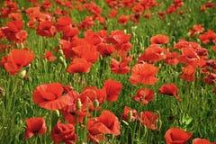 Droge und Liebesintoxikation, Opium, medizinisch Sommer und Frühling, Landschaft, Mohn Erinnerungstag Anzac Day lizenzfreie stockbilder