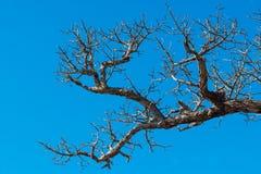 Droge van de bomenmatrijs en zon brandwonden met droogte Boommatrijs in de blauwe hemel stock afbeeldingen