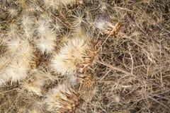 Droge zaden en distel (Cynara-humilis) ter plaatse Royalty-vrije Stock Afbeeldingen