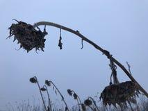 Droge zonnebloemhoofden op een bevroren de winterdag Stock Foto