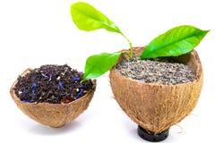 Droge zwarte en groene die theebladen op kokosnotenschil op witte achtergrond wordt geïsoleerd Royalty-vrije Stock Afbeeldingen