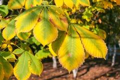 Drogende bladeren van een kastanje stock foto