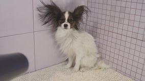Drogende hond na het baden de Continentale Toy Spaniel Papillon video van de voorraadlengte stock video