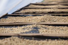Drogende koffiebonen in de zon Stock Foto's