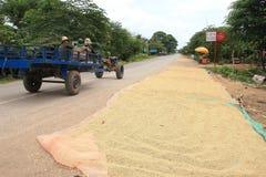 Drogende rijstkorrels op een weg in Kambodja Stock Afbeeldingen