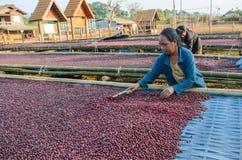 Drogende rode koffiebessen royalty-vrije stock foto