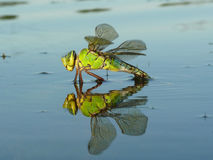 Drogonfly reflection Royalty Free Stock Photo