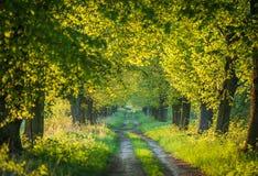 Drogowi uprawiani wapno drzewa Zdjęcie Royalty Free