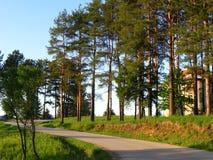 drogowy sosnowy drzewo Zdjęcia Stock