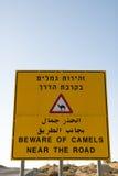 Ono wystrzega się wielbłądy blisko De Droga Zdjęcie Royalty Free