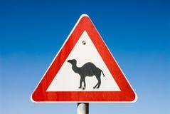 Ono wystrzega się wielbłądy blisko De Droga Zdjęcie Stock