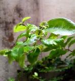 drohende Blattläuse stockbild
