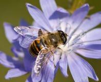 Drohne auf einer Blume lizenzfreies stockbild