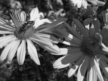 Drohne Honey Bee auf Gänseblümchenchrysanthemenblumen Stockfoto