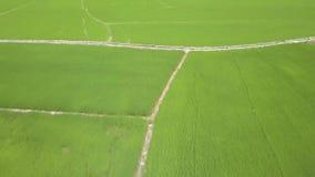 Drohnenfliegen über grünem Reisfeld Wachsender Reis der Vogelperspektive auf Dorfplantage in Asien Landwirtschaftlich und Korn stock video footage