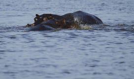 Drohung, die Flusspferd anzeigt Stockbilder