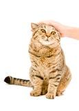 Droit écossais de chat satisfaisant Photographie stock libre de droits