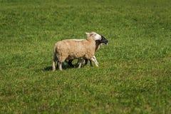 Droite de promenade de Bélier d'Ovis de trois moutons Images libres de droits