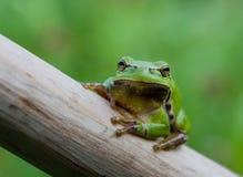 Droite européenne de treefrog (arborea de Hyla) devant Photo stock