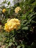 Droite jaune de fleur photo libre de droits