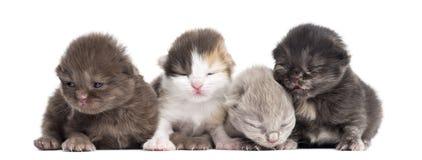 Droits des montagnes ou plient des chatons dans une rangée, 1 semaine de vieille, d'isolement Image stock