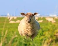 A droll ruminating sheep Royalty Free Stock Photos